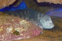 Image of Wolf eel