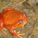 Image of Tomato Frog