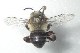 Image of <i>Anthophora centriformis</i> Cresson 1879