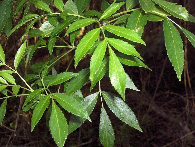 Image of Carolina ash