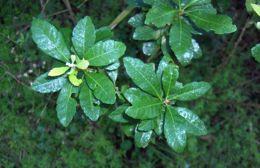 Image of <i>Myrica heterophylla</i> Raf.