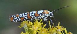 Image of <i>Atteva punctella</i> Cramer 1782