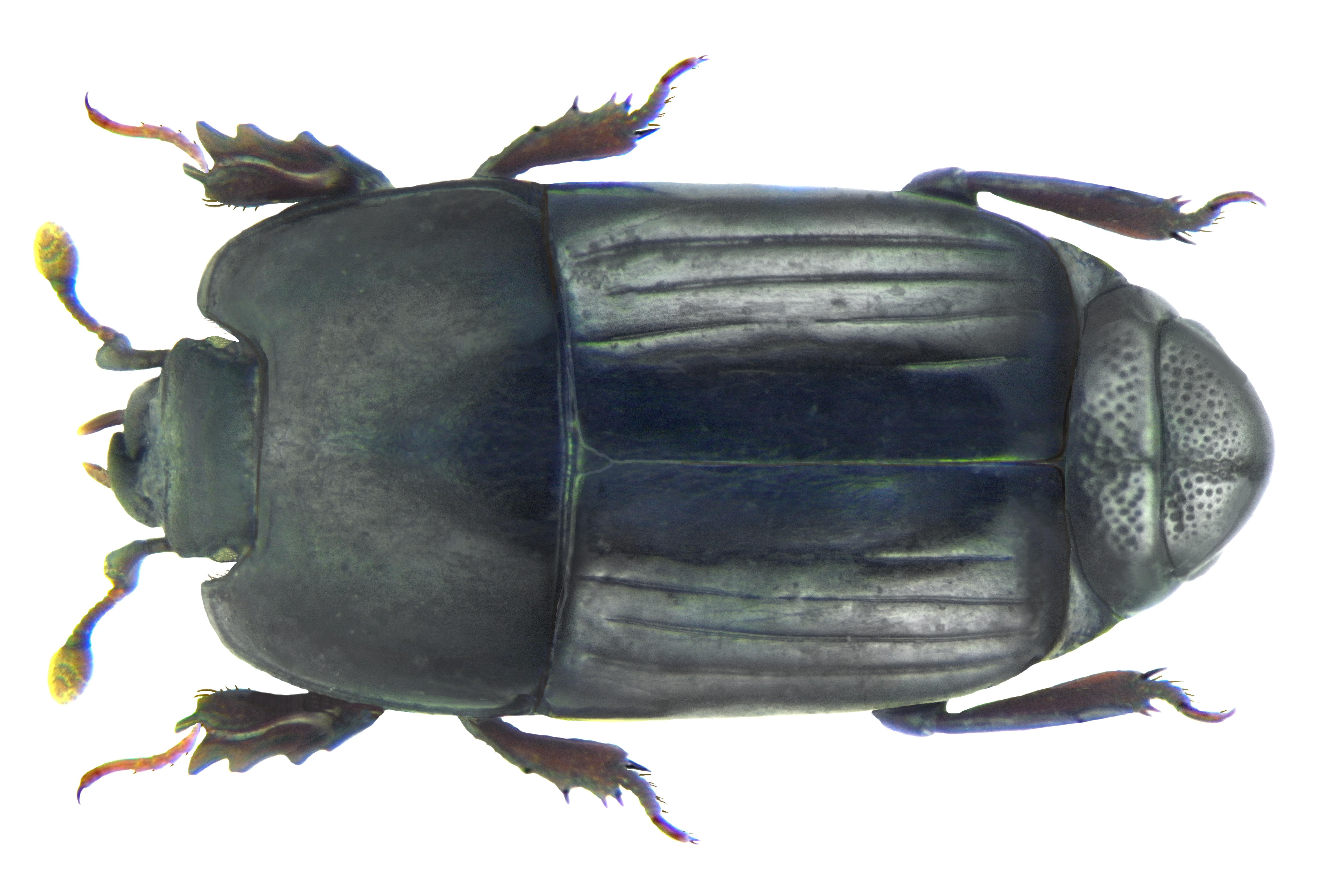 Image of <i>Platysoma dahdah</i>