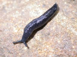 Image of <i>Pallifera hemphilli</i> (W. G. Binney 1885)