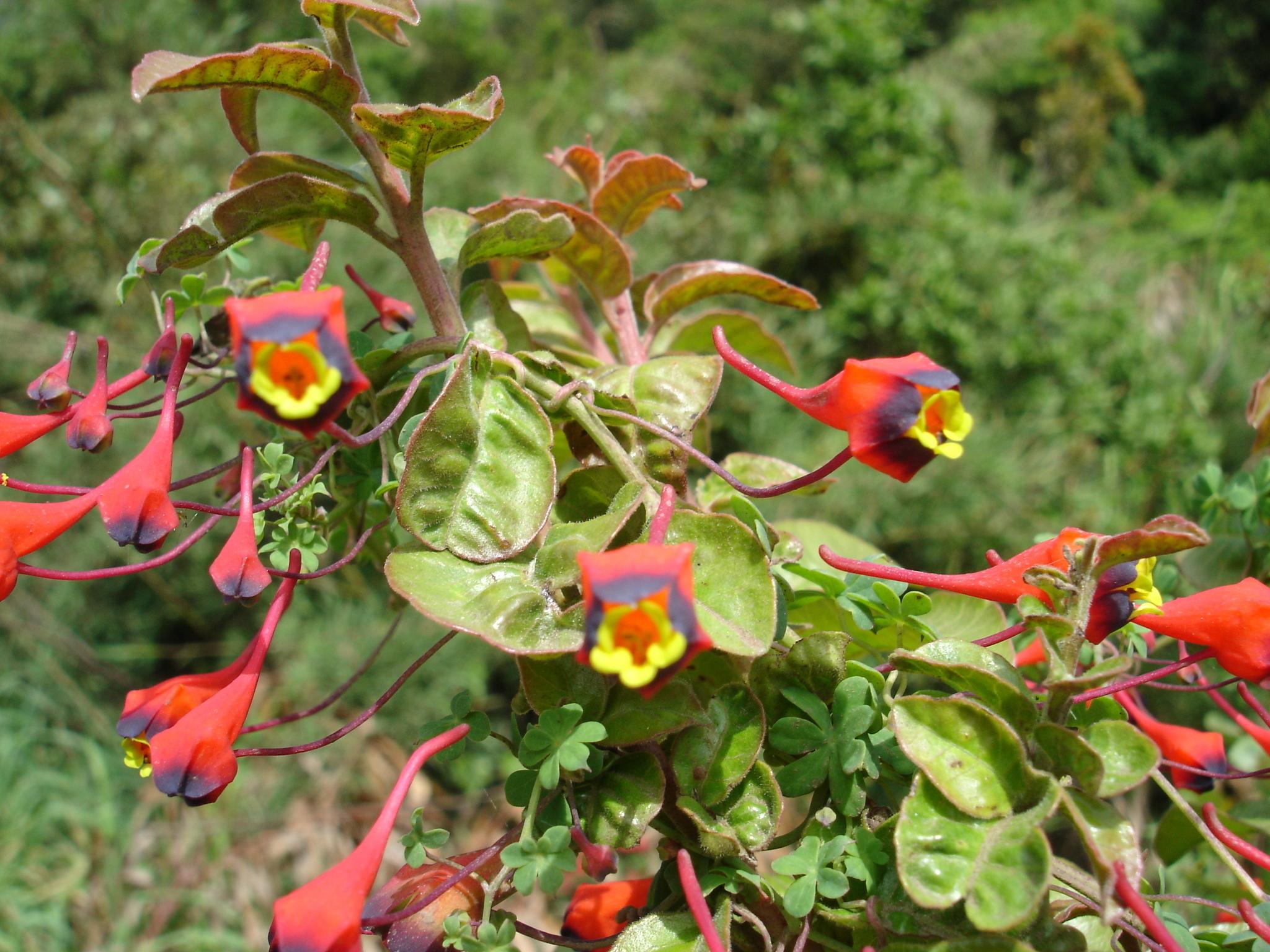 Image of Bolivian Nasturtium