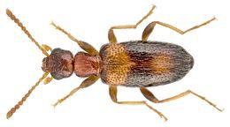Image of Antlike flower beetle