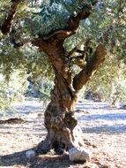 Image of olive tree