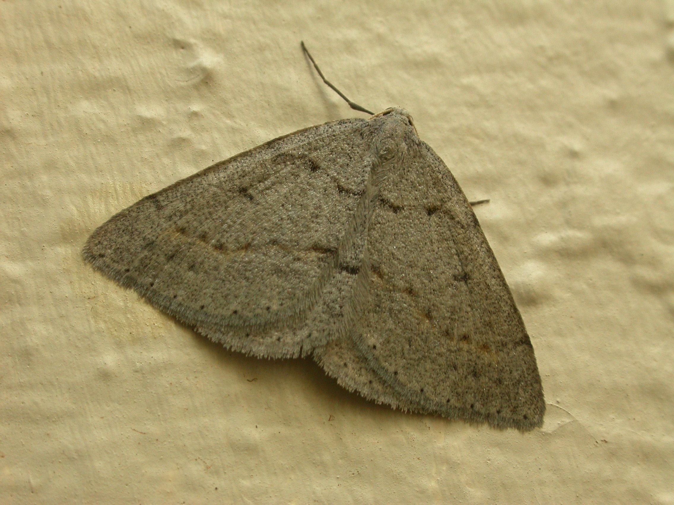 Image of <i>Taxeotis reserata</i> Walker 1861