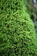 Image of seductive entodon moss
