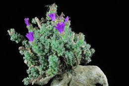Image of <i>Trichodiadema bulbosum</i> (Haw.) Schwant.