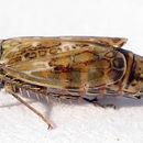 Image of <i>Adarrus ocellaris</i>
