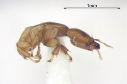 Image of <i>Sycoscapter stabilis</i> (Walker 1871)