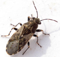 Image of Nettle Ground Bug