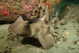 Image of Crested Bullhead Shark