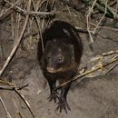 Image of Marsh Mongoose