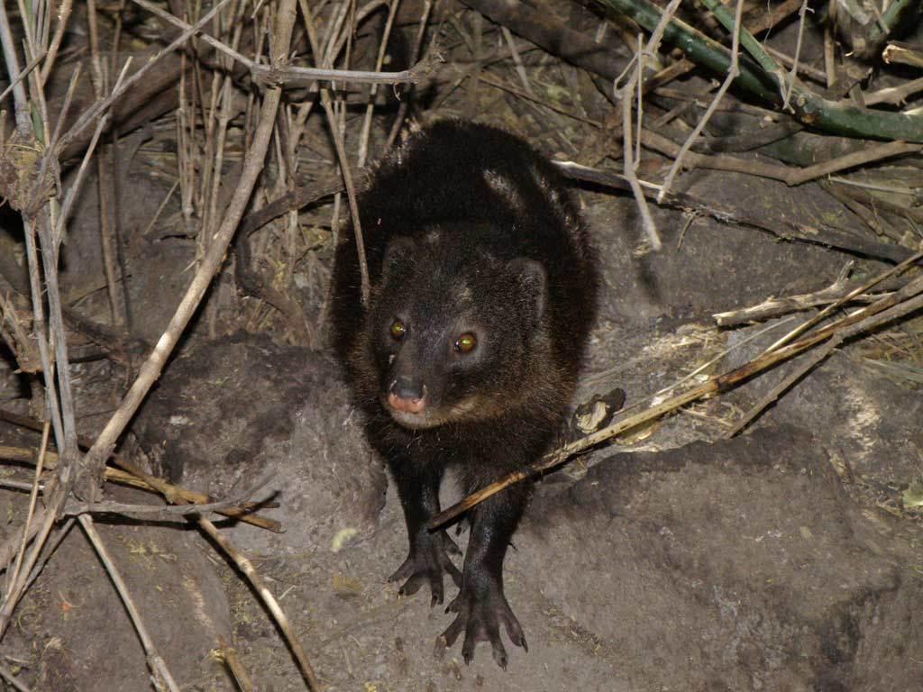 Image of Marsh Mongoose