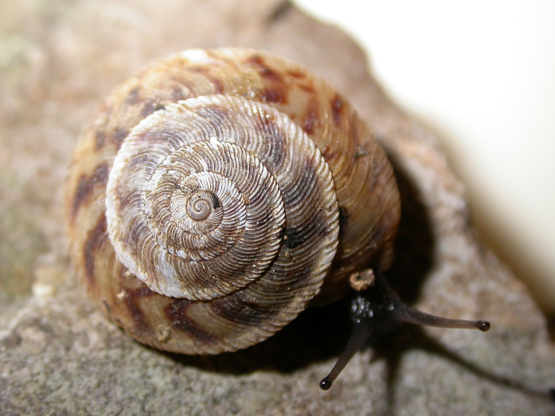 Image of <i>Anguispira cumberlandiana</i> (I. Lea 1840)