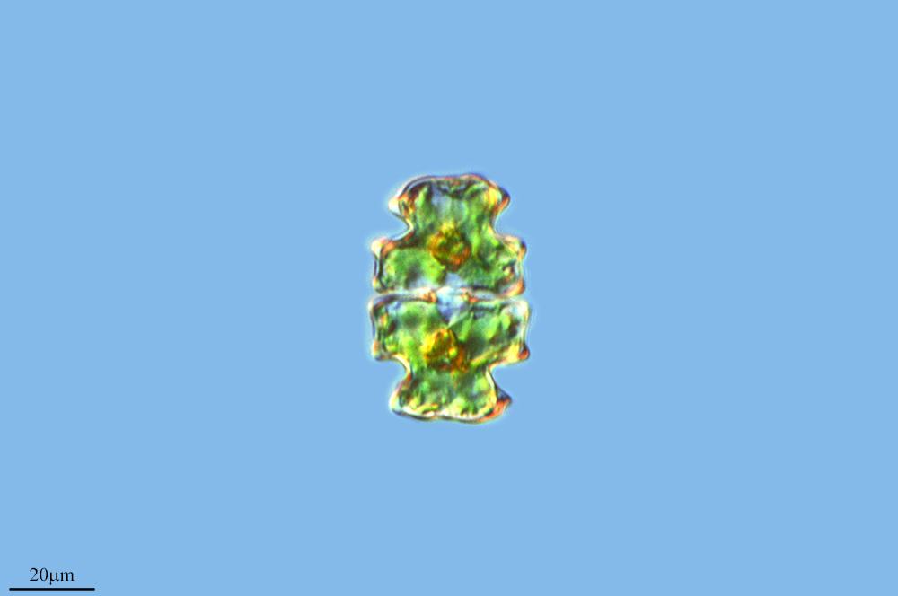 Image of <i>Euastrum pectinatum</i>