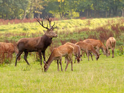 Image of Red Deer