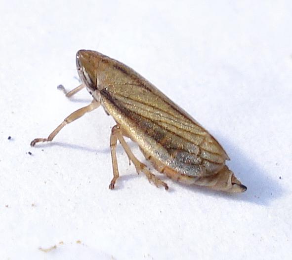 Image of Lined Spittlebug
