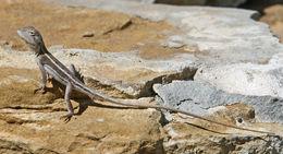 Image of <i>Amphibolurus burnsii</i>