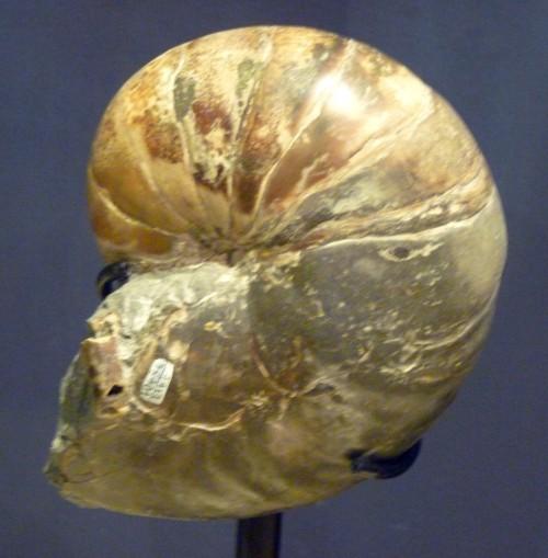Image of <i>Anglonautilus catarinae</i>
