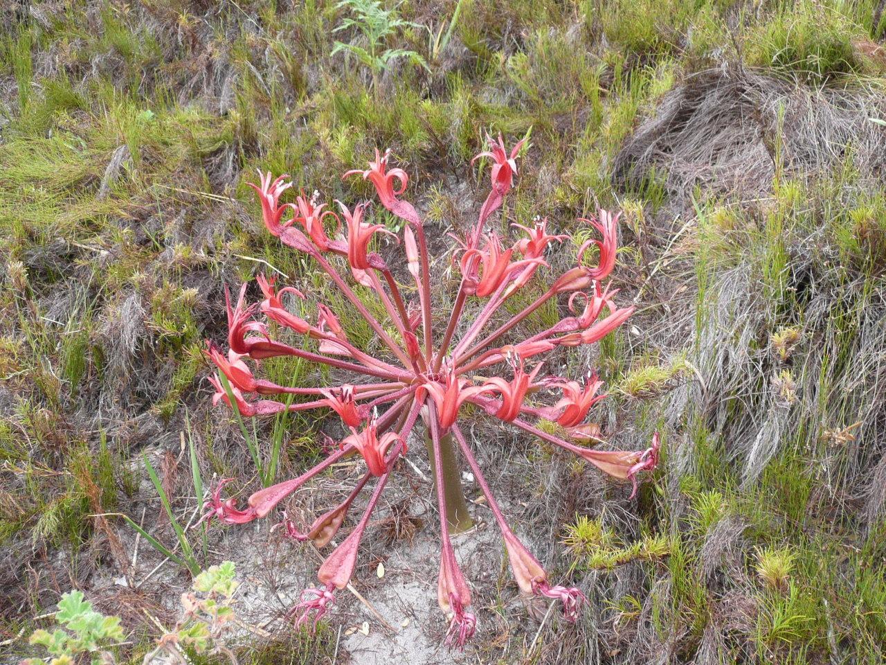 Image of Candelabra flower