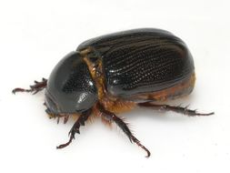 Image of <i>Tomarus relictus</i> (Say 1825)