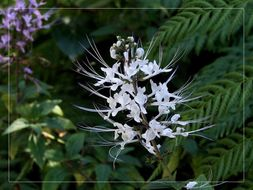 Image of <i>Orthosiphon aristatus</i> (Blume) Miq.