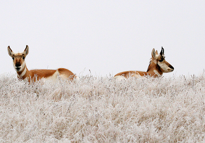 Image of pronghorn