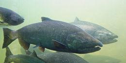 Image of Chinook salmon