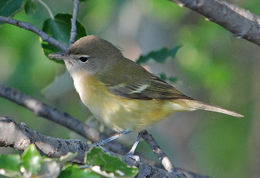 Image of Bell's vireo