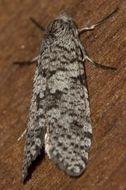 Image of <i>Lepidoscia euryptera</i>