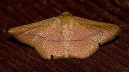 Image of <i>Aglaopus pyrrhata</i> Walker 1866