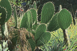 Image of Chaparral Prickly-pear