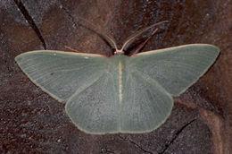 Image of <i>Chlorocoma assimilis</i> Lucas 1888
