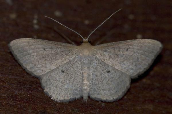 Image of <i>Scopula optivata</i> Walker 1861