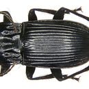Image of Parallel-Sided Ground Beetle