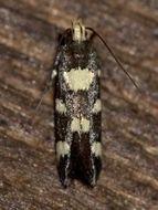 Image of <i>Limnaecia tetraplanetis</i> Meyrick 1897