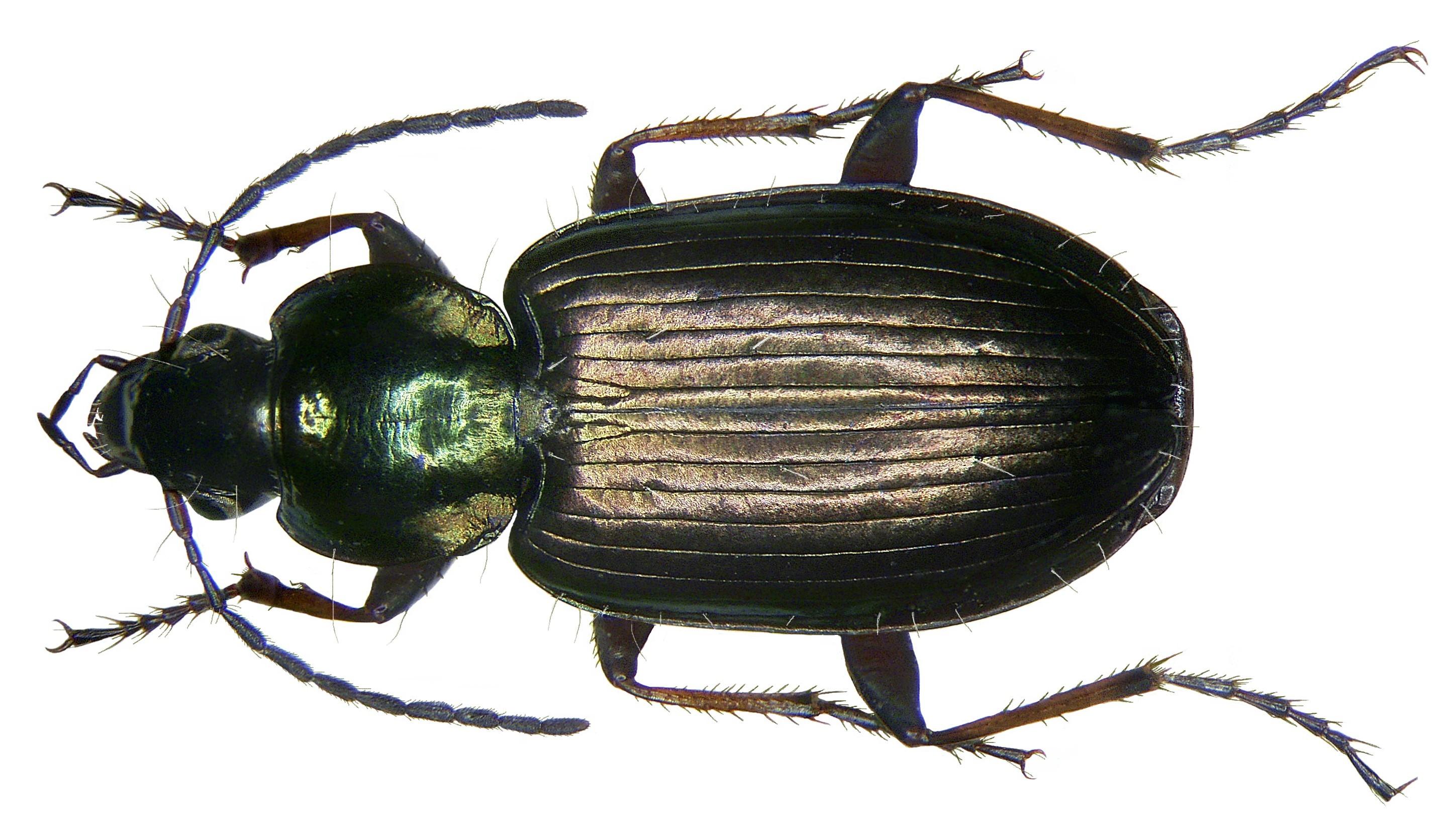 Image of <i><i>Agonum</i></i> (Agonum) <i>muelleri</i> (Herbst 1784)