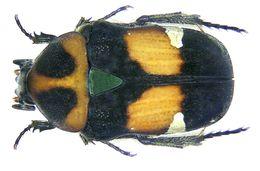 Image of <i>Gametis bealiae</i> (Gory & Percheron 1833)