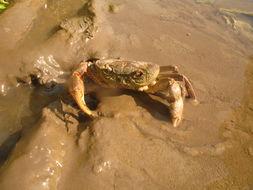 Image of River Crab