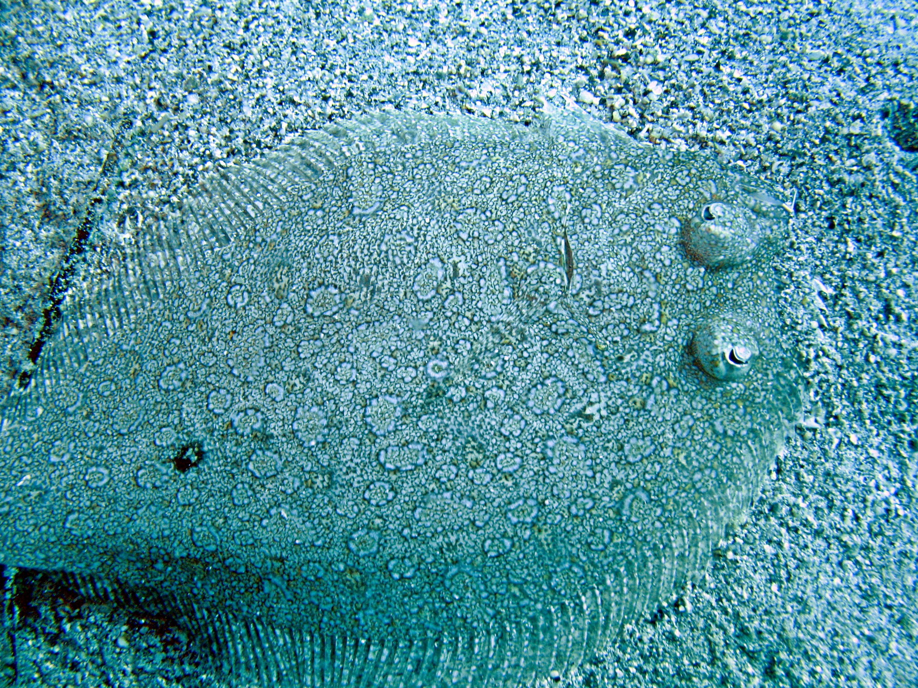 Image of Wide-eyed Flounder