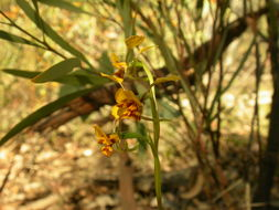 Image of Black Mountain leopard orchid