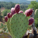 Image of Prickly Pears