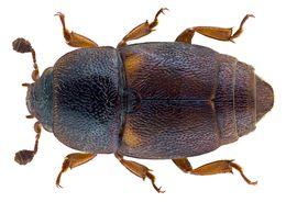 Image of <i>Urophorus humeralis</i> (Fabricius 1798)
