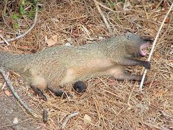 Image of Egyptian Mongoose