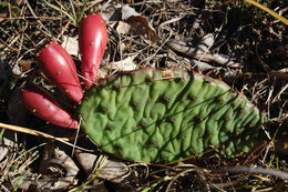 Image of Grassland Pricklypear