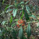 Image of wild coffee