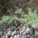 Image of Mesoamerican Yew